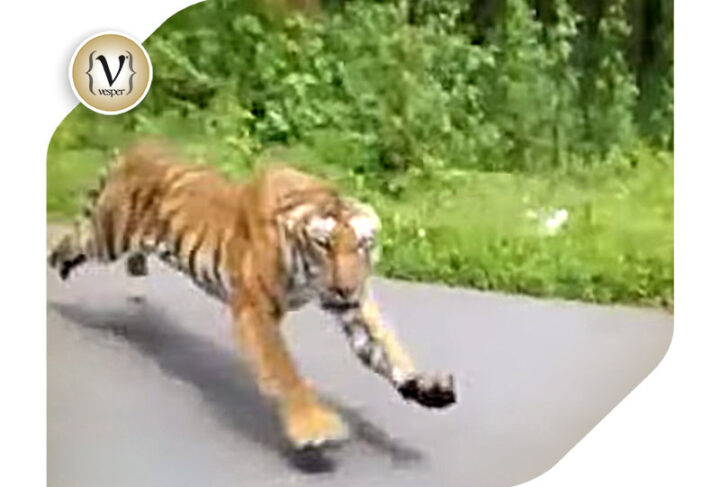 Internet's Best : Two people in a motorcycle escape from a tiger.